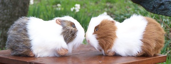Stuffed Guinea Pig - Guinea Pig Farm Animals